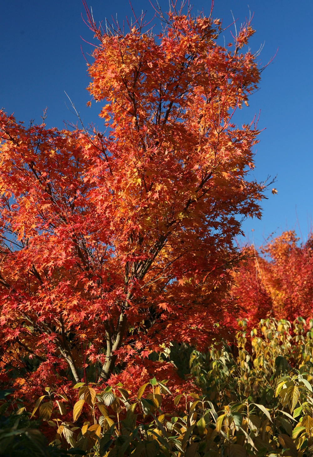 Acer palmatum Osakazuki multi-stem in autumn foliage