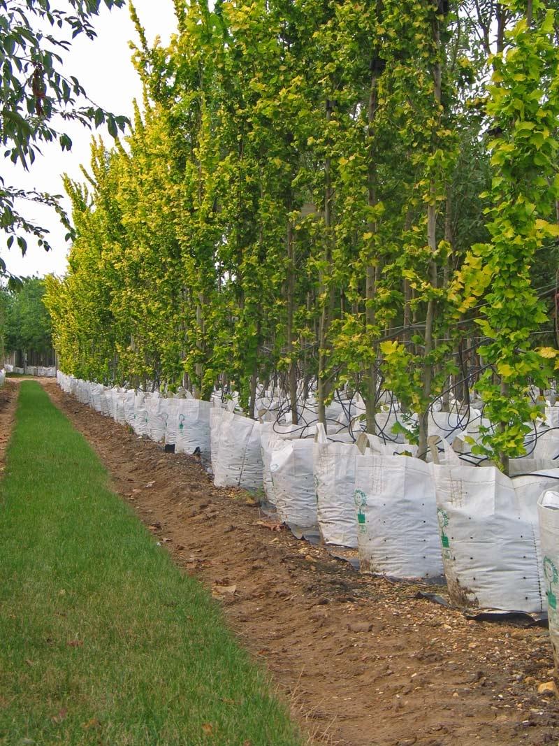 Row of Ulmus carpinifolia Wredei Aurea on Barcham Trees nursery