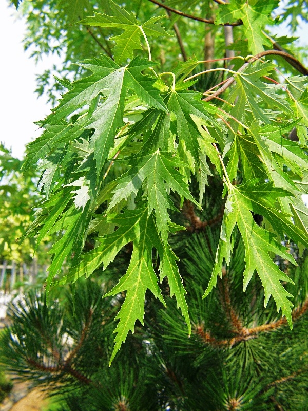 The dissected leaves of Acer saccharinum Laciniata Wieri