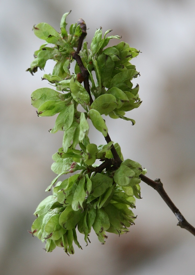 The seeds of Ulmus Dodoens
