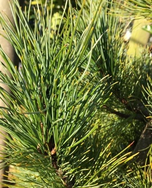The needles of Pinus cembra