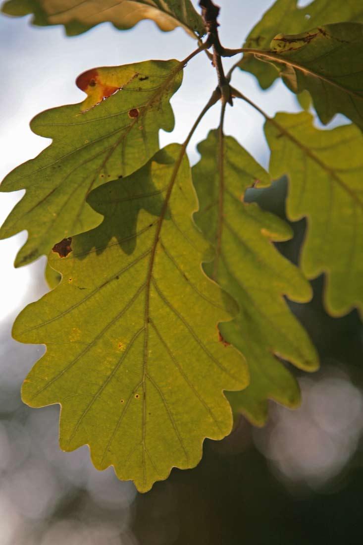 The lobed leaves of Quercus petraea