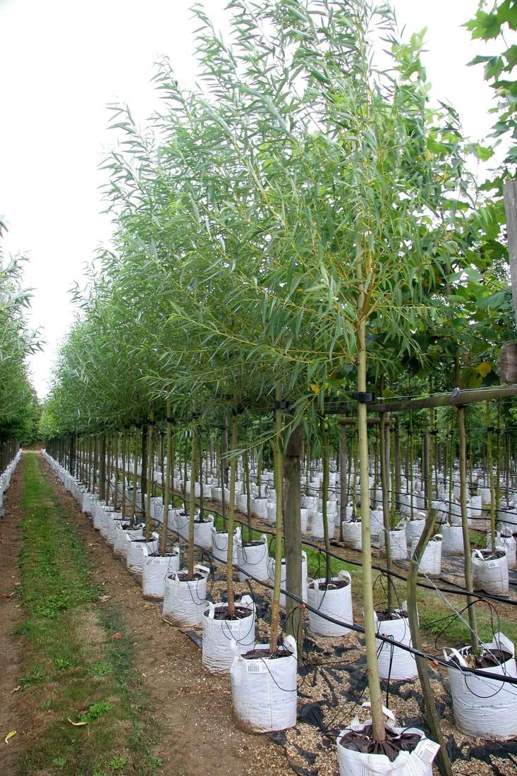 Row of Salix alba Chermesina at Barcham Trees nursery