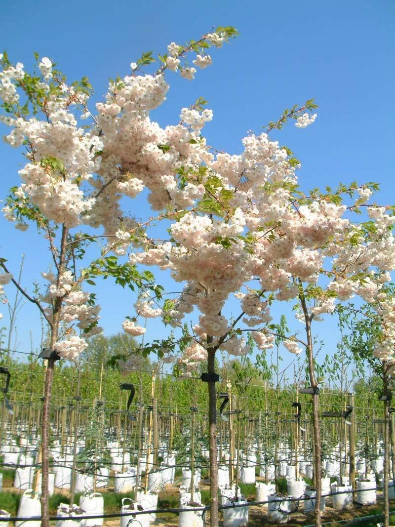 The beautiful pink flowers of Prunus Shimidsu Sakura