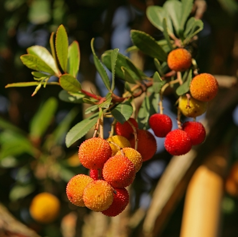 fruits of the Arbutus unedo (Standards)