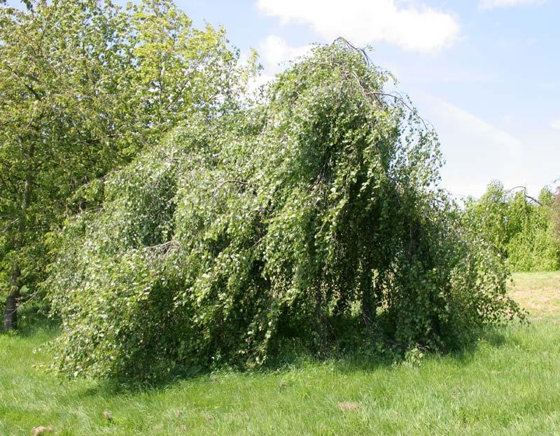 mature Betula pendula Youngii
