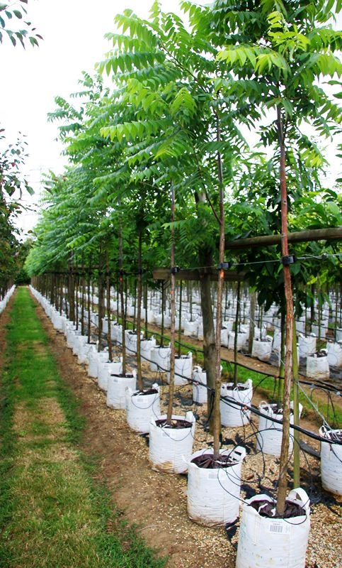Ailanthus altissima on The Barcham trees nursery