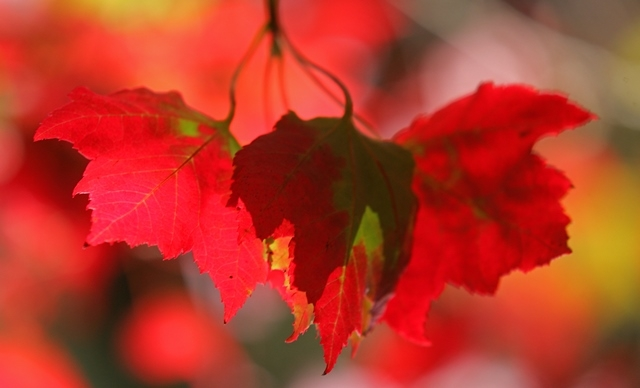 beautiful autumn foliage of Acer rubrum Red Sunset