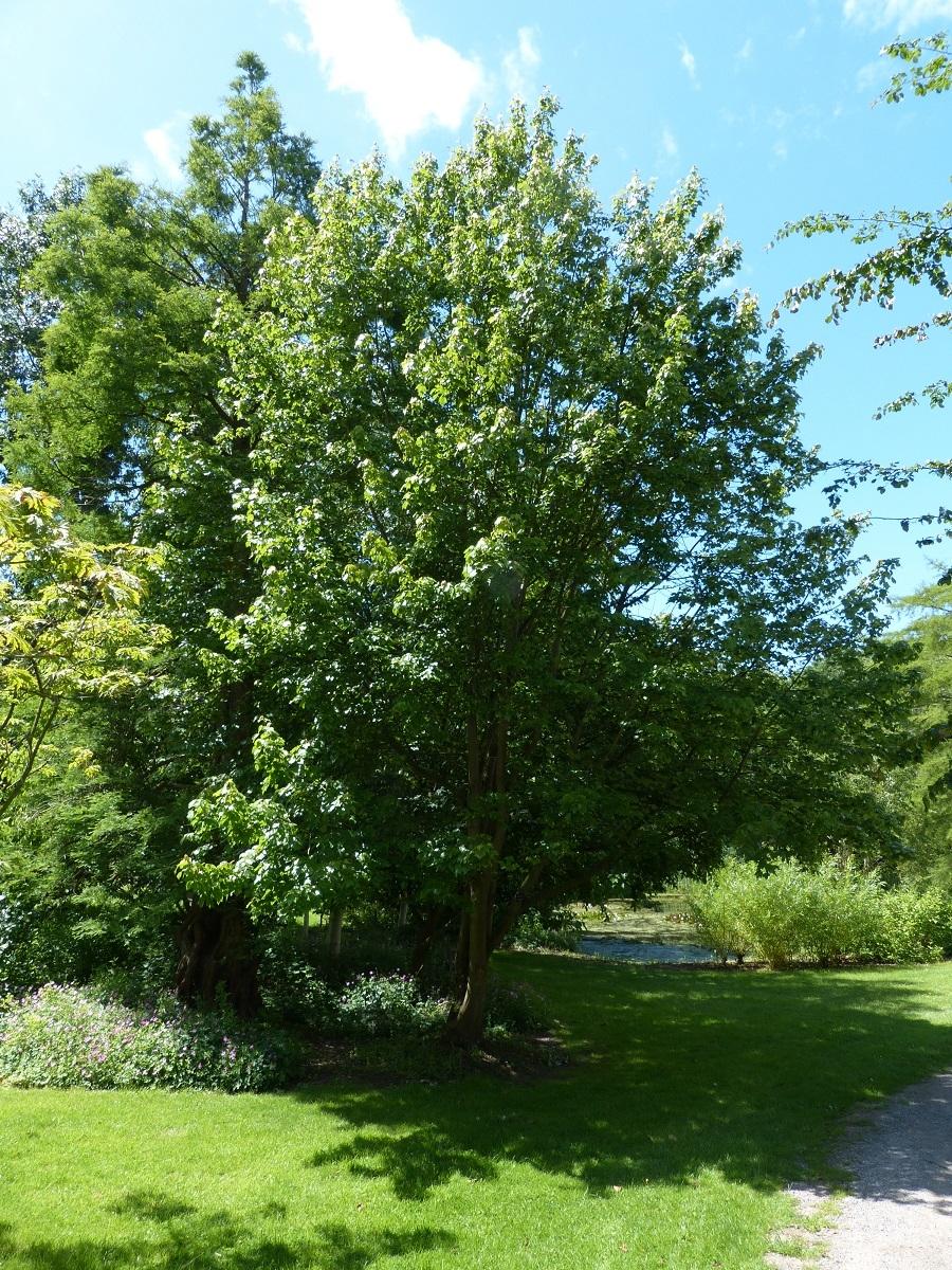 mature  Acer rubrum October Glory in summer