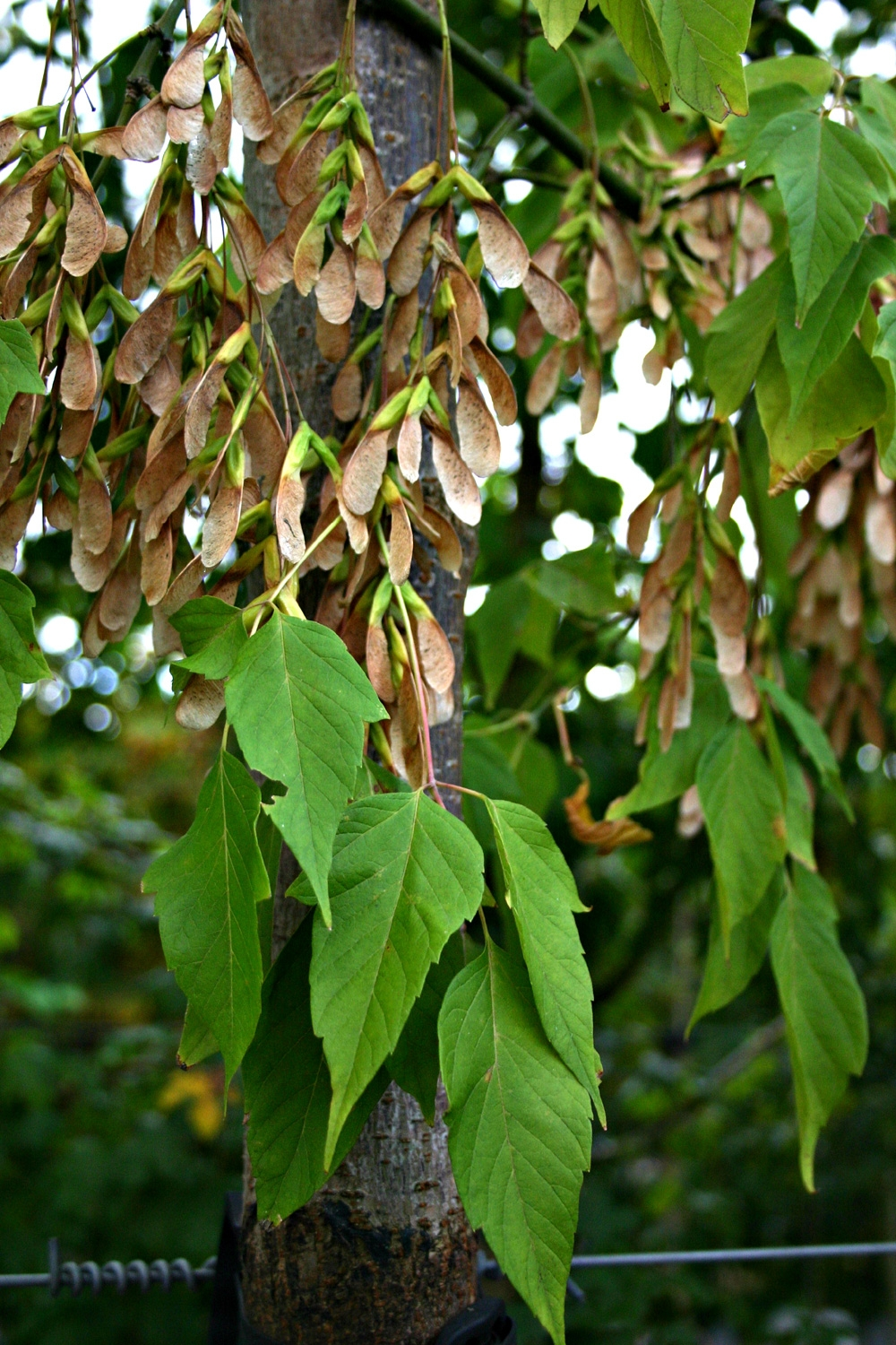 The leaves of Acer negundo