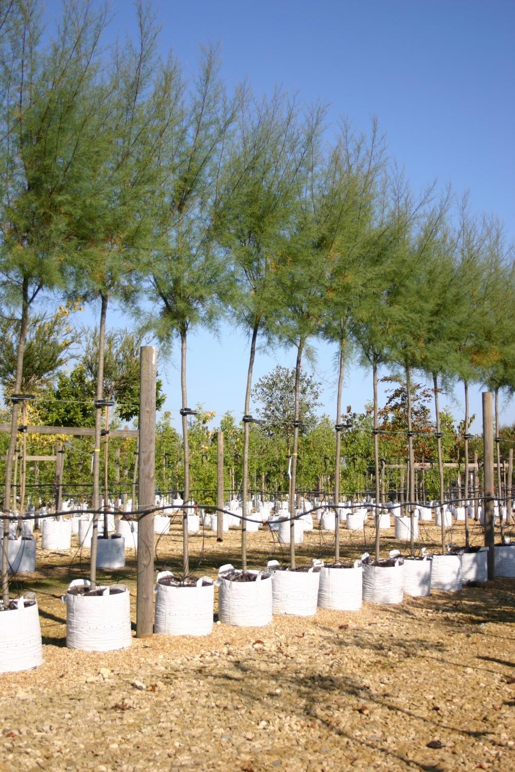 Tamarix aestivalis on Barcham Trees nursery