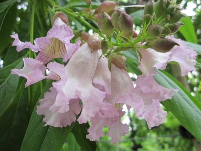 The bell like flower of Chitalpa x tashkentensis Summer Bells