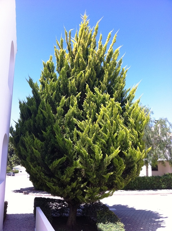 Mature  Small Golden Monterey Cypress from this batch <> Cupressus macrocarpa Goldcrest