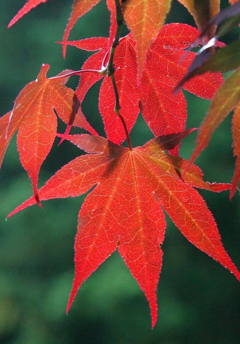 the leaves of Acer palmatum Atropurpureum autumn foliage