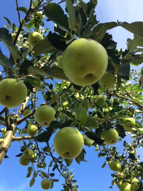 The apples of Malus James Grieve