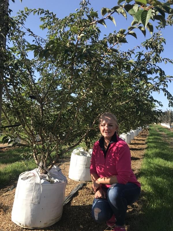 Prunus subhirtella Autumnalis multi-stem