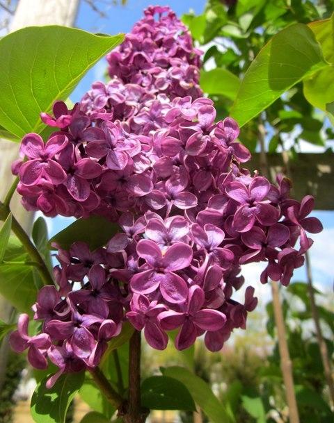 The beautiful, vibrant flower of Syringa vulgaris Ludwig Spath
