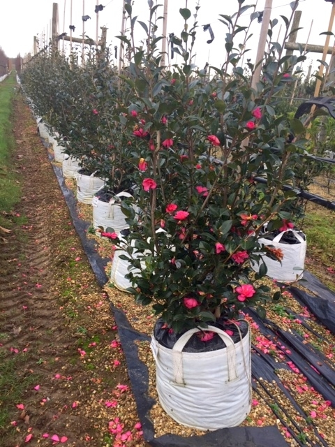 row of Camellia sasanqua Kanjiro at barcham treess