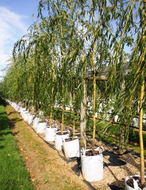 Salix alba Tristis in a row on the Barcham nursery