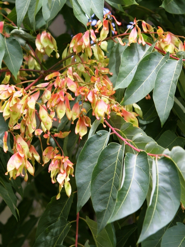 The flower of  Ailanthus altissima