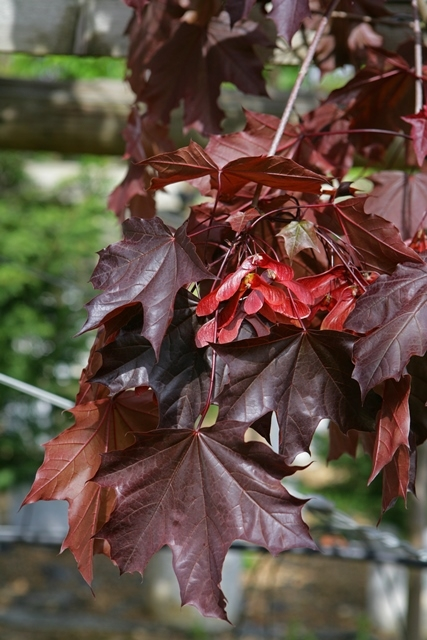 The foliage of Acer platanoides Crimson King in detail