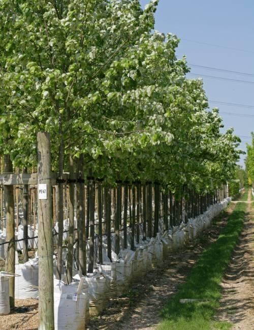 Row of Tilia tomentosa Brabant at Barcham Trees nursery, full summer foliage