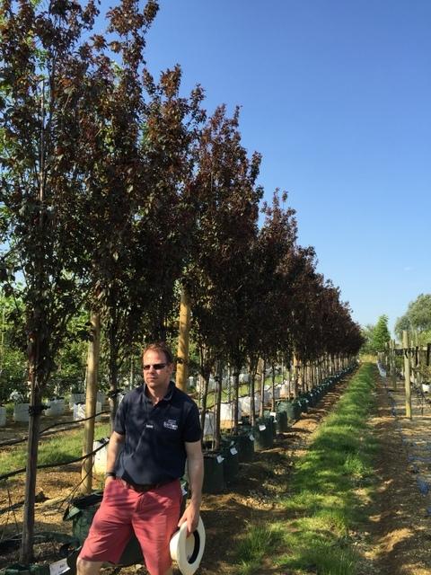 Prunus cerasifera Crimson Point at barcham trees nursery