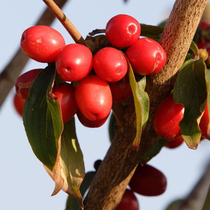 Cornus mas berries