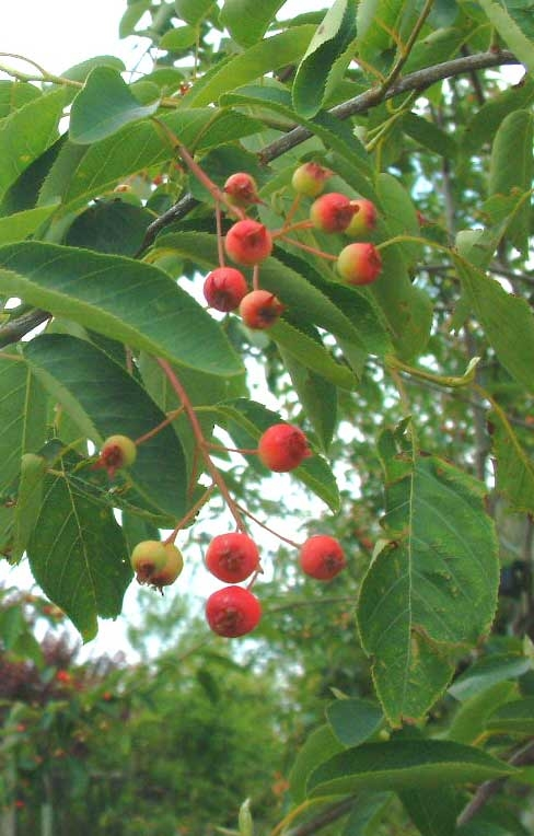 The small berries of Amelanchier lamarckii