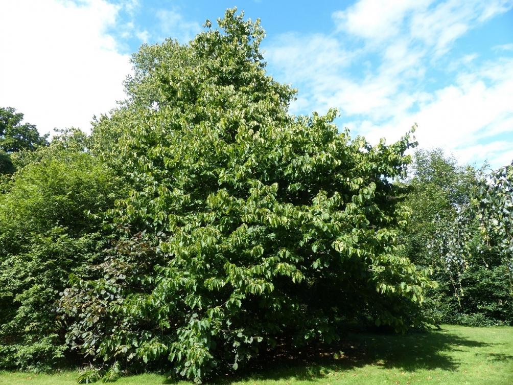 mature Corylus colurna at Kew gardens