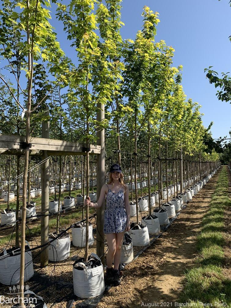 Acer pseudoplatanus Worleii