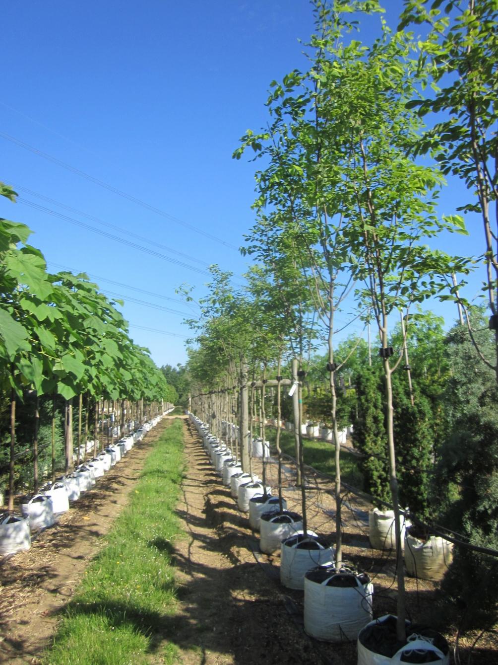 Cladrastis kentukea at barcham trees
