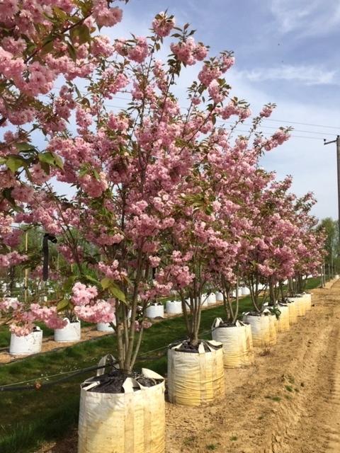 Prunus kanzan multi-stem on the barcham trees nursery in summer
