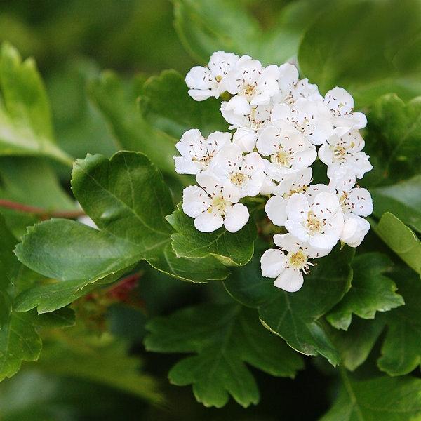 The white flower of Crataegus monogyna Stricta