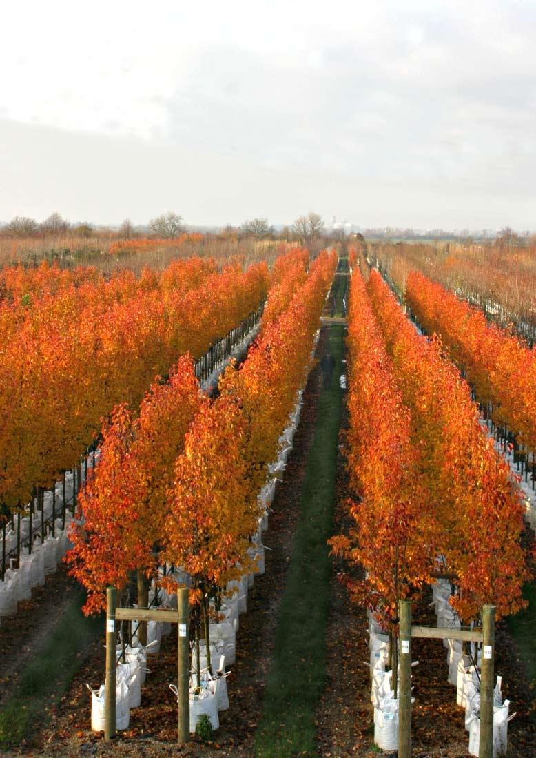 The stunning autumn colour of Pyrus calleryana Chanticleer