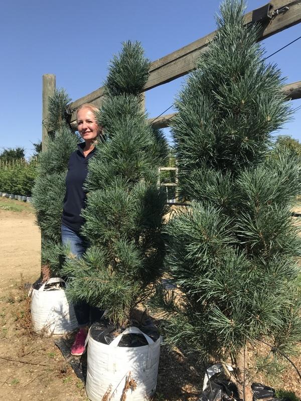 Pinus sylvestris Fastigiata at barcham trees