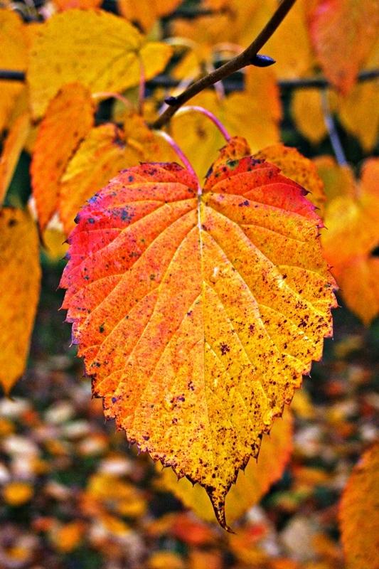 autumn foliage of Davidia involucrata