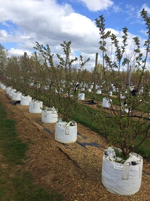Malus evereste multi-stem at barcham trees
