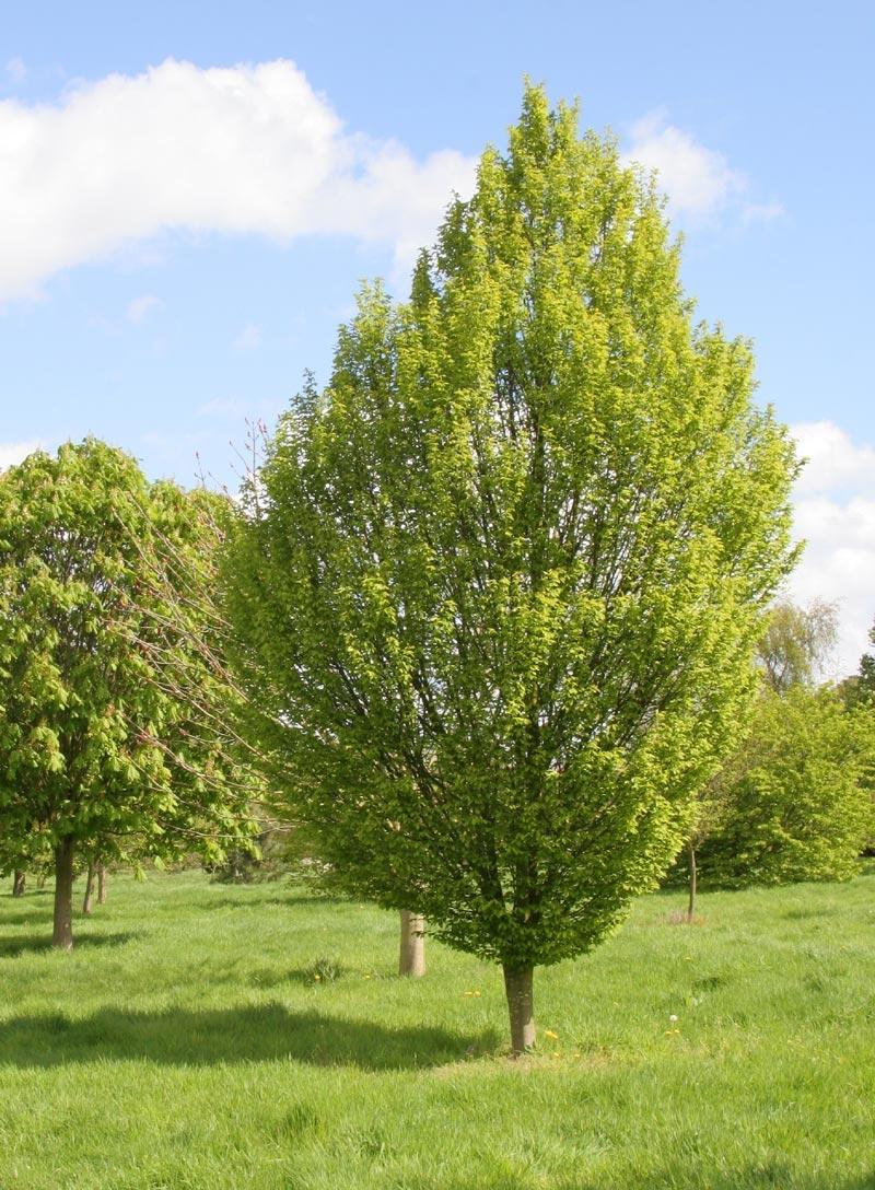 Mature  Carpinus betulus Fastigiata
