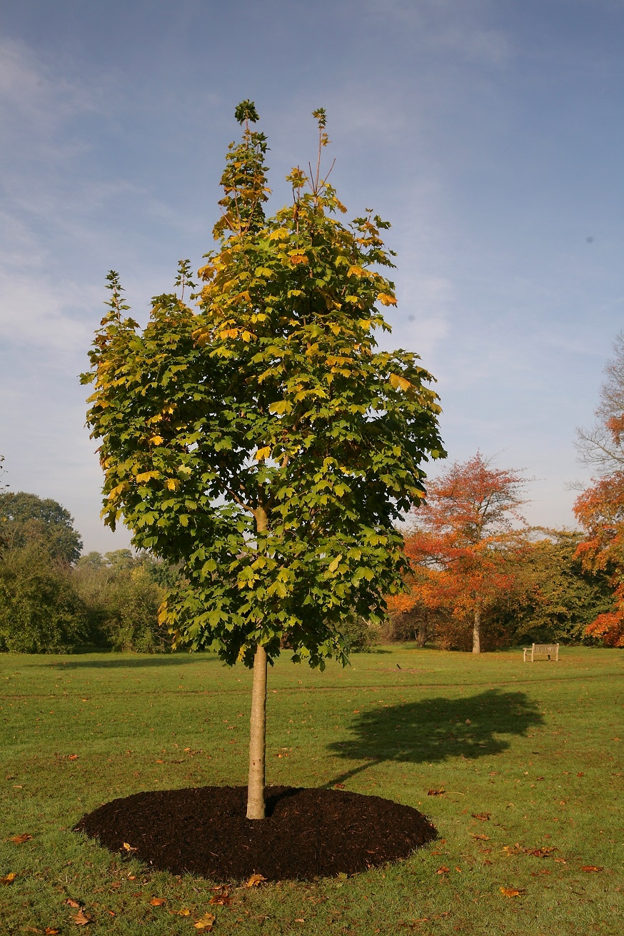 Acer platanoides Cleveland