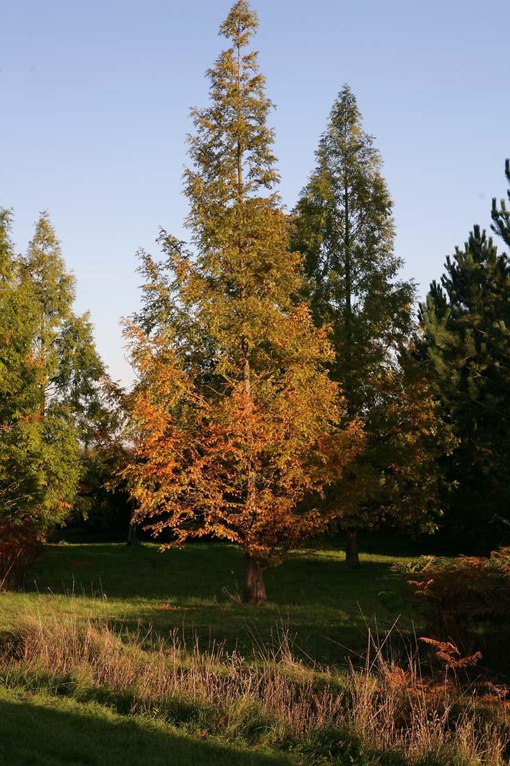 Autumn colour of Metasequoia glyptostroboides