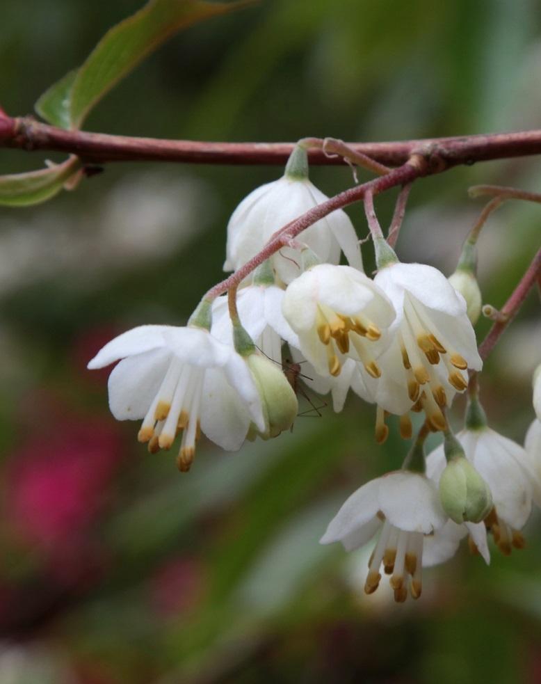 The bell shaped flowers of Halesia Carolina