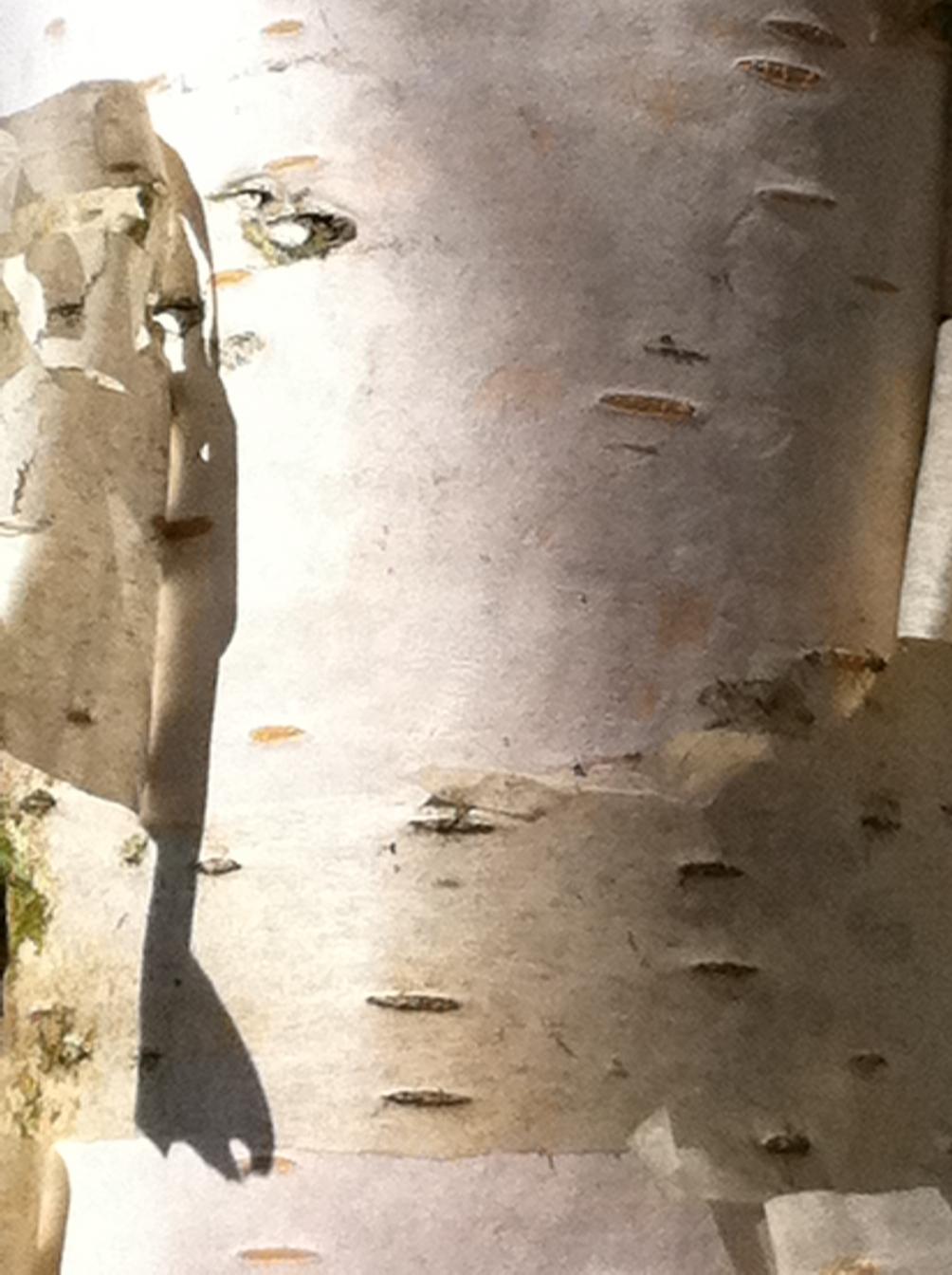 the white bark of  Betula pendula Zwisters Glory