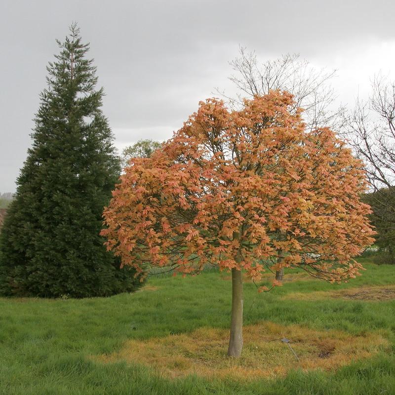 Mature Acer pseudoplatanus Brilliantissimum