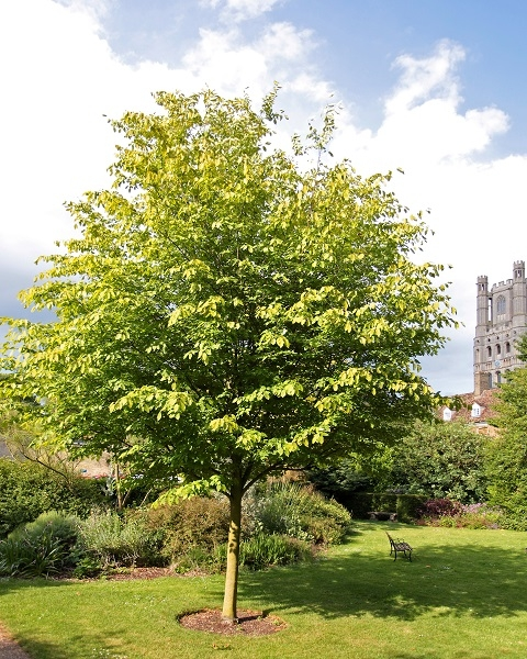 Mature Amelanchier arborea Robin Hill