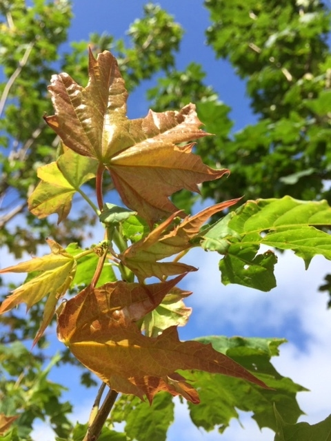 New growth on Acer plataniodes Summershade