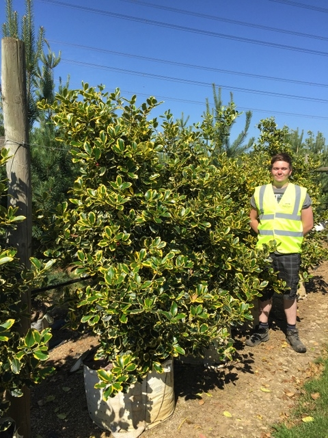 Ilex x altaclerensis Golden King at Barcham Trees