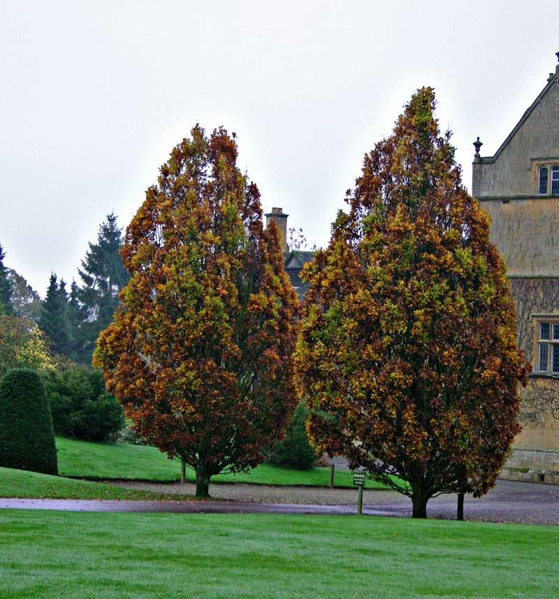 Mature Quercus robur Fastigiata Koster in autumn foliage