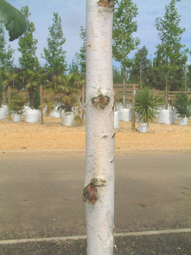 the white bark of  Betula utilis Jacquemontii