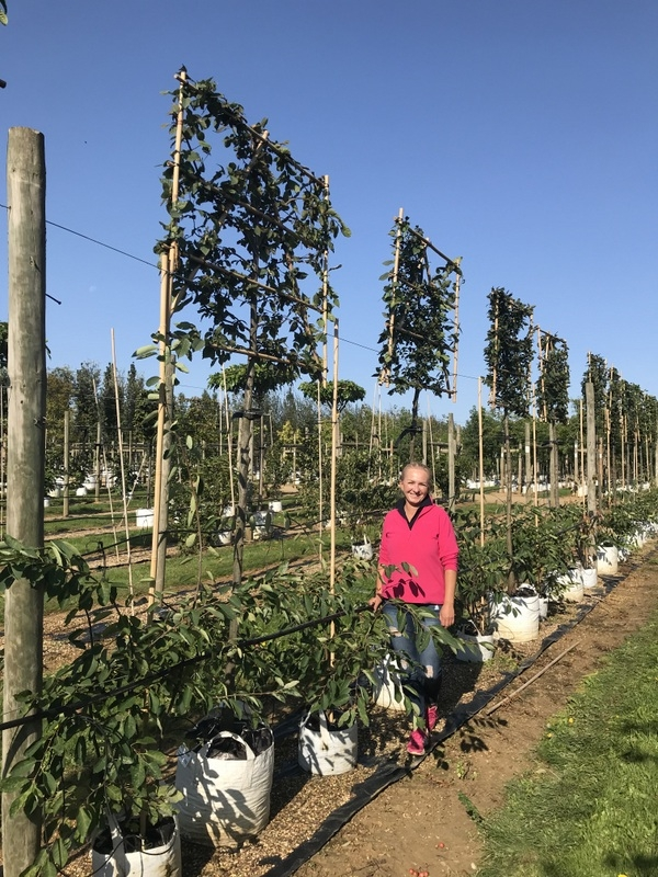 medium sized Carpinus betulus pleached